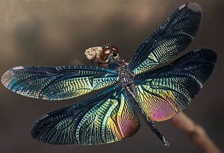 dragonfly image